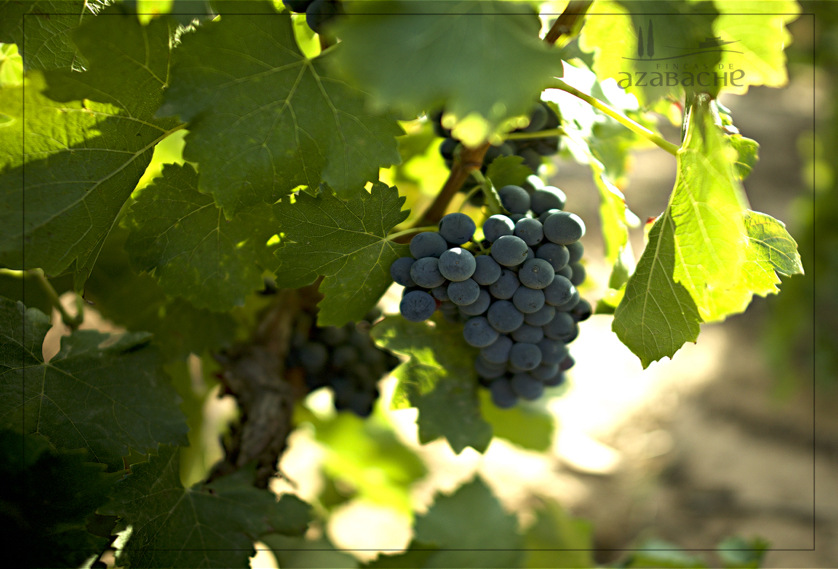 DO YOU KNOW RIOJA´S CHARACTERISTIC RED VARIETIES?