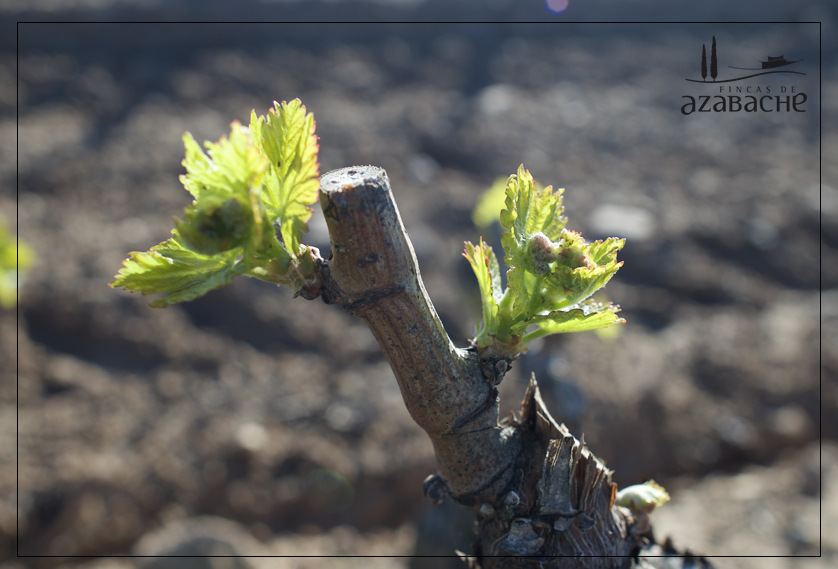 VINE GROWTH CYCLE-SPRING BUDDING