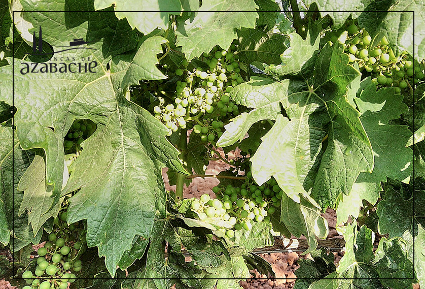 VINE GROWTH CYCLE-FERTILIZATION AND FRUIT-BEARING