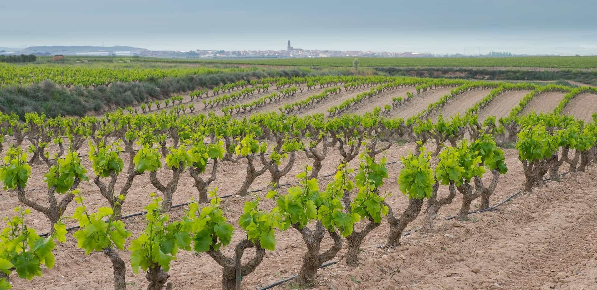 Fincas de Azabache - Aldeanueva vineyards